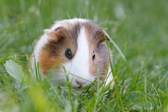 Can Guinea Pigs Eat Peppers? - Neeness