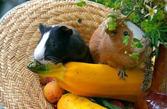 Can Guinea Pigs Eat Mango? - Neeness