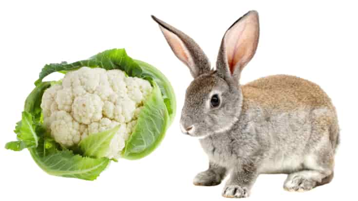 Can Rabbits Eat Cauliflower? (Serving size, Benefits, Risks)