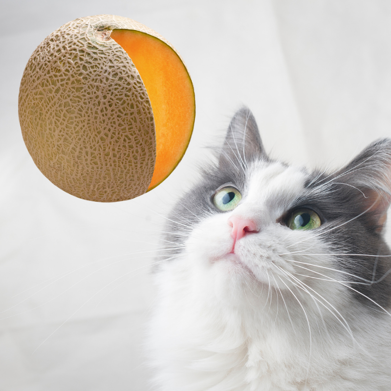 Can Cats Eat Watermelon? (Best Served) | Petrapedia