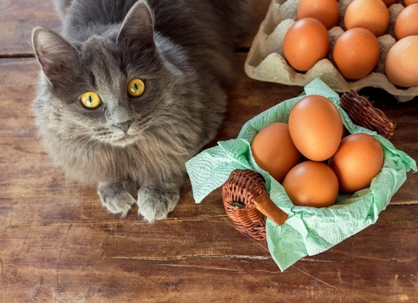 Can Cats Eat Eggs? Are Scrambled or Raw Eggs Good for Cats?   PetMD