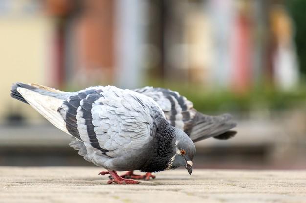 https://www.freepik.com/premium-photo/closeup-gray-pigeons-birds-walking-city-street-searching-food_12329182.htm#page=1&query=pigeon%20eating&position=15