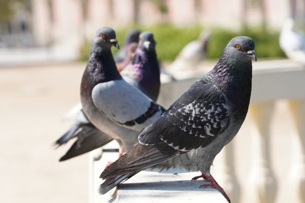 https://www.freepik.com/free-photo/closeup-selective-focus-shot-pigeons-park-with-greenery_10376767.htm#page=1&query=pigeon&position=27