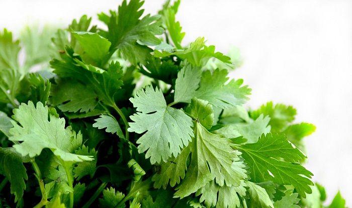 Can Rabbits Eat Cilantro (Coriander)? | Growing cilantro, Herbs, Growing coriander