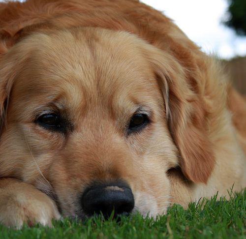 Do Dogs Grieve Other Dogs? – American Kennel Club
