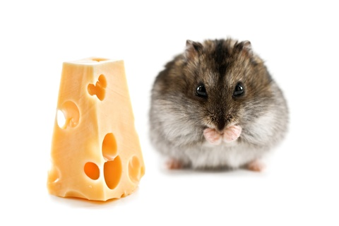 Cheese | Hamsters Portal