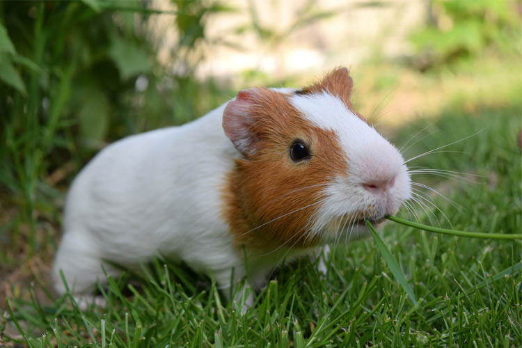 Can Guinea Pigs Eat Grass? Tips for Outdoor Guinea Pigs - Guinea Pig Pals