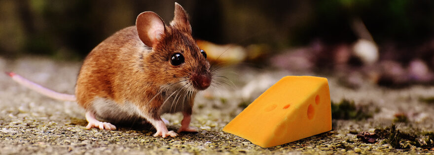Do mice really like cheese: Fact or Fiction? | EarthKind