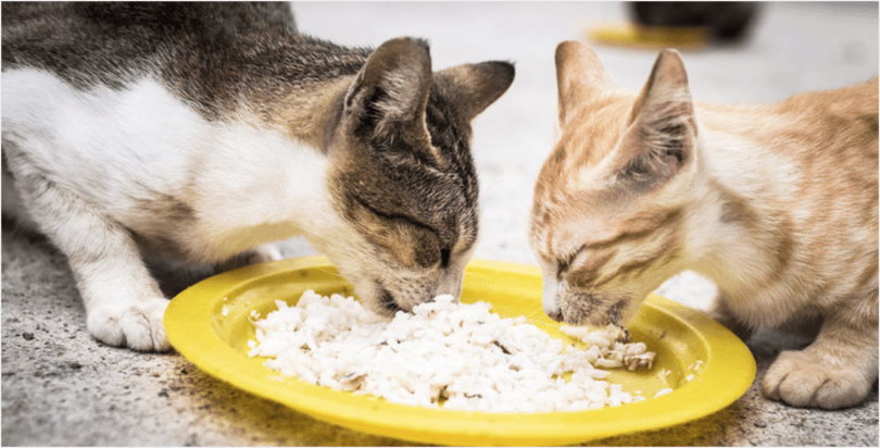 Giving Rice To Cats: Is It A Good Idea? | HolidogTimes
