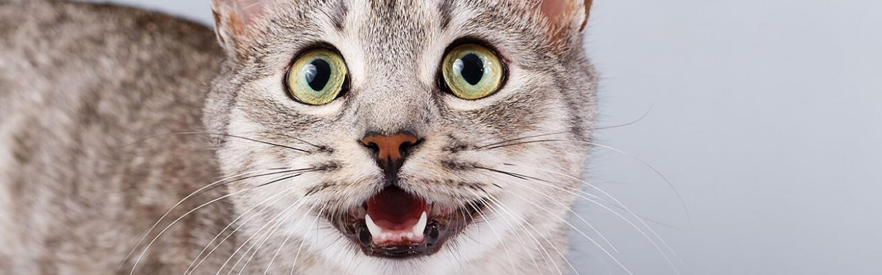 Guide To Cat Dental Care | RSPCA Pet Insurance