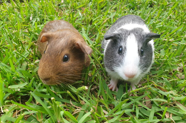 Guinea Pig Food: The TRUTH About What Cavies REALLY Like To Eat