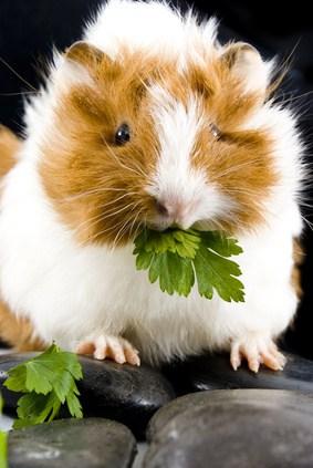 do guinea pigs like parsley cheap online
