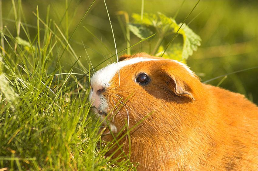 What Do Guinea Pigs Eat? | Feeding Guinea Pigs | Guinea Pigs | Guide