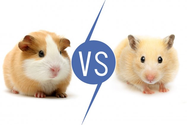 Guinea Pigs vs Hamsters [11 Things to know] | Pet Comments
