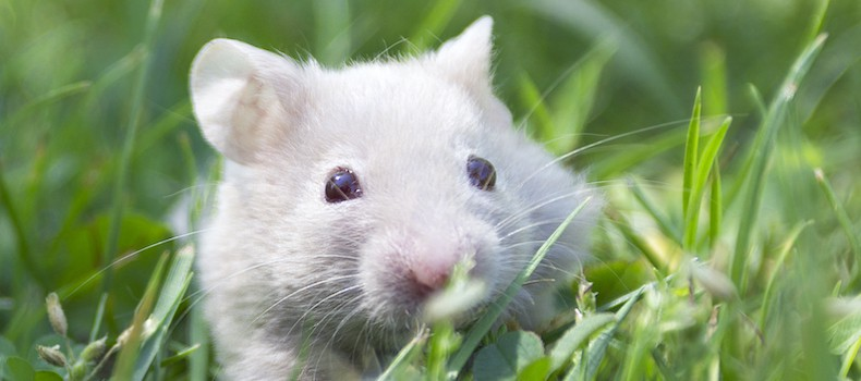Can Hamsters Eat Broccoli? | Dangers explained by a vet