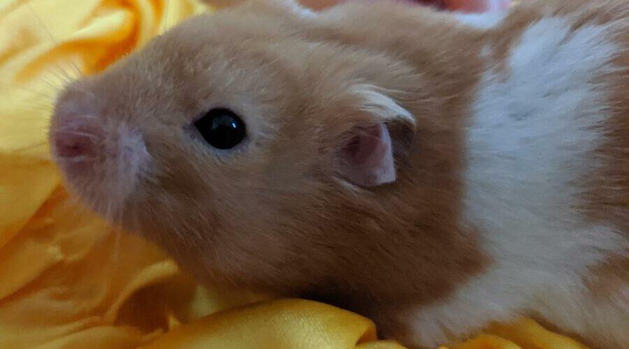 Can Hamsters Eat Apples (A Helpful Guide) – Hamster Geek