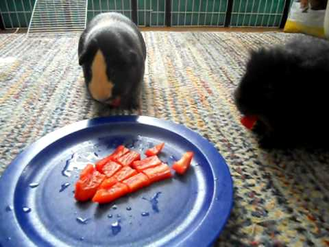 Guinea Pigs Eat Red Bell Peppers - YouTube