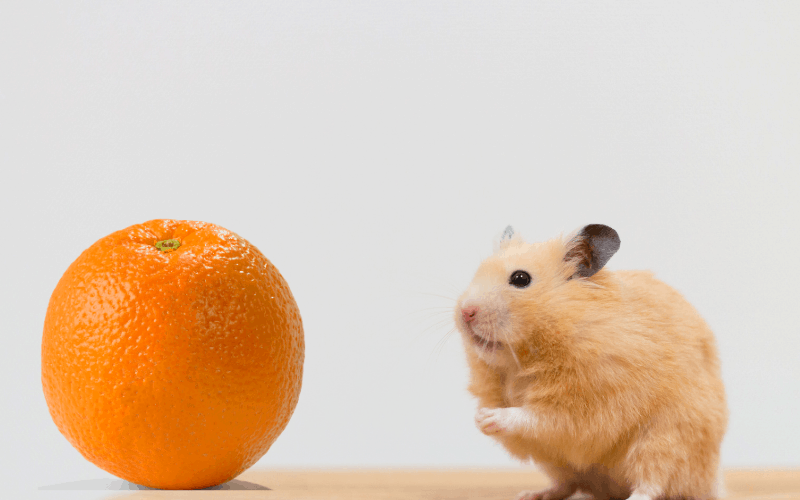 Can Hamsters Eat Oranges? {Vital Facts & Concerns}