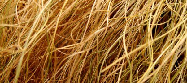 Can Guinea Pigs Eat Dead Grass? - Online Guinea Pig Care
