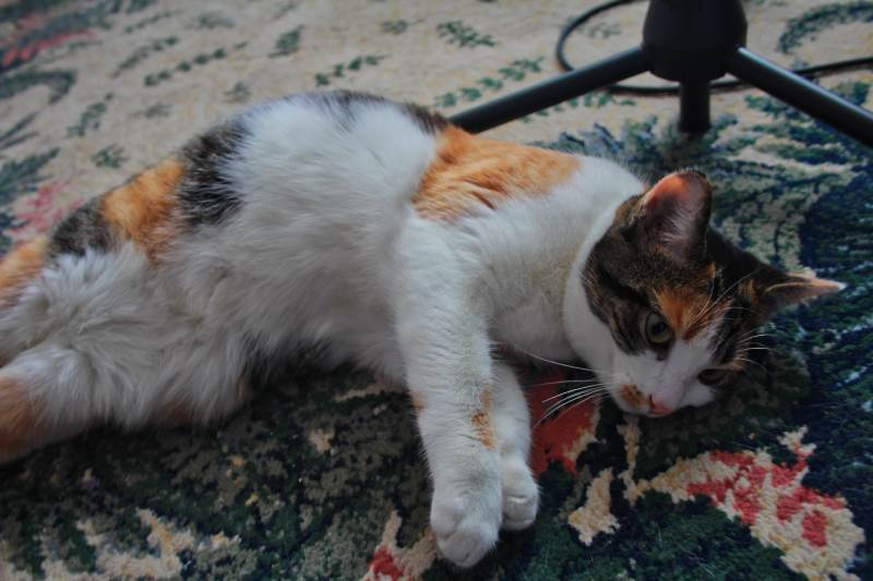 How Long & When Do Cats Stay in Heat? How Can You Tell If She's in ...