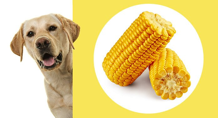 Can Dogs Eat Corn? A Guide To A Common Kibble Ingredient