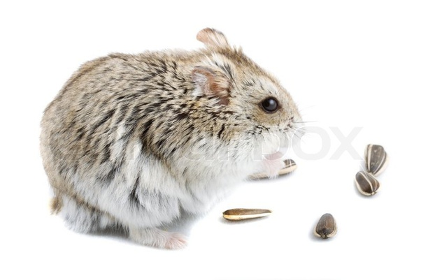 Can you feed Syrian hamsters sunflower seeds everyday? If so, how many can I give to my hamsters? Do you guys also know any food alternatives I can serve my hamsters? -