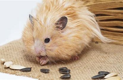 Can I give my hamster sunflower seeds? The ones humans can eat, not bird or hamster food. - Quora