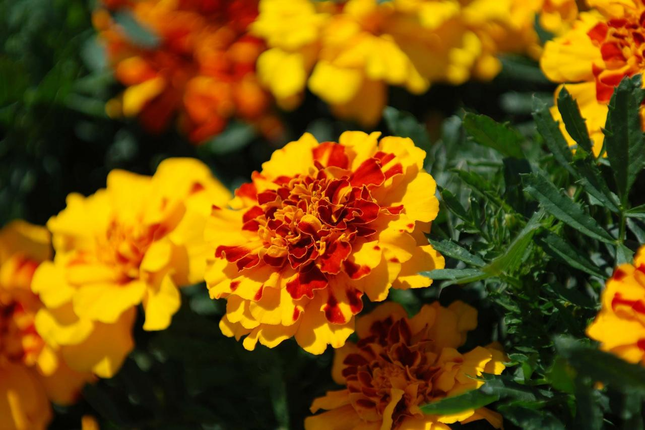 Marigold Poisoning in Dogs - Symptoms, Causes, Diagnosis, Treatment, Recovery, Management, Cost