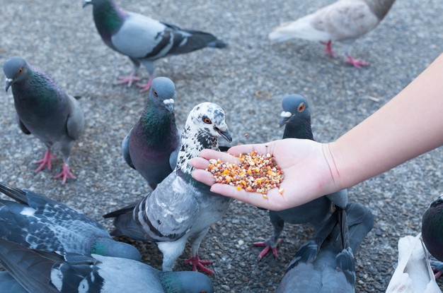 https://www.freepik.com/premium-photo/pigeon-eating-from-woman-hand-park_10134027.htm#page=1&query=pigeon%20eating&position=23