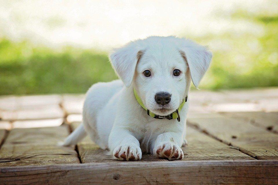 https://pixabay.com/photos/puppy-dog-pet-collar-dog-collar-1903313/