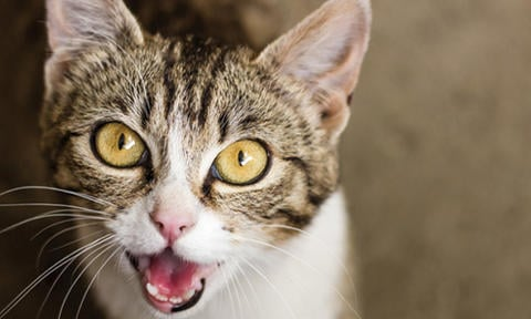 Why Do Cats Meow? | Purina