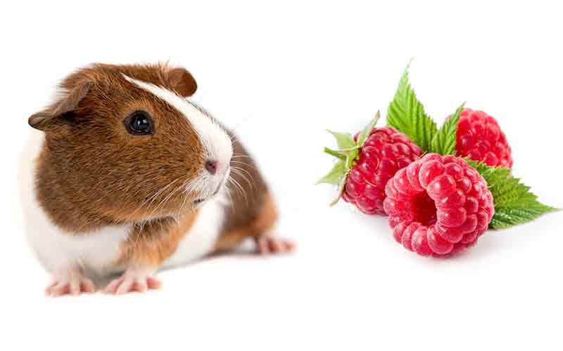 Can Guinea Pigs Eat Raspberries? Squeaks and Nibbles