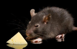 7: Cheese Makes the Best Rat Bait | Infested | Animal Planet