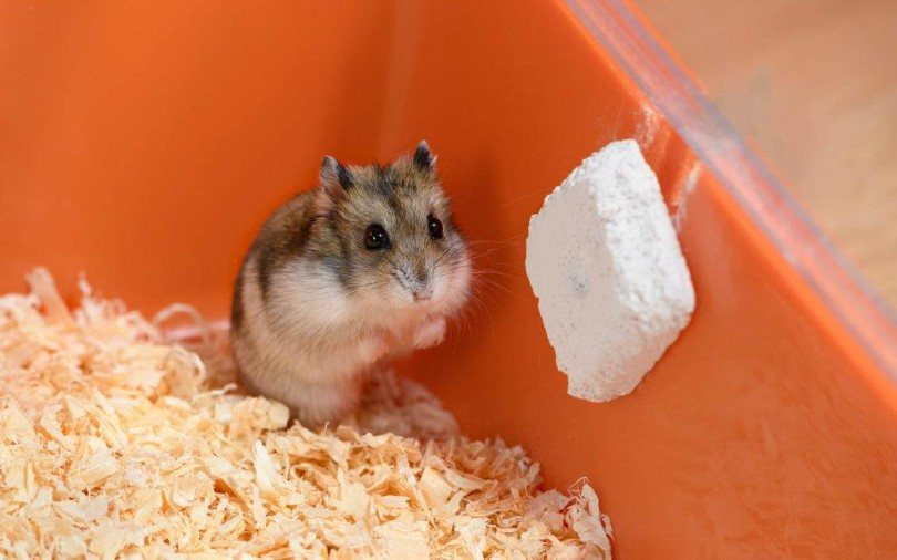 Can Hamsters Eat Guinea Pig Food? What You Need to Know! | Pet Keen