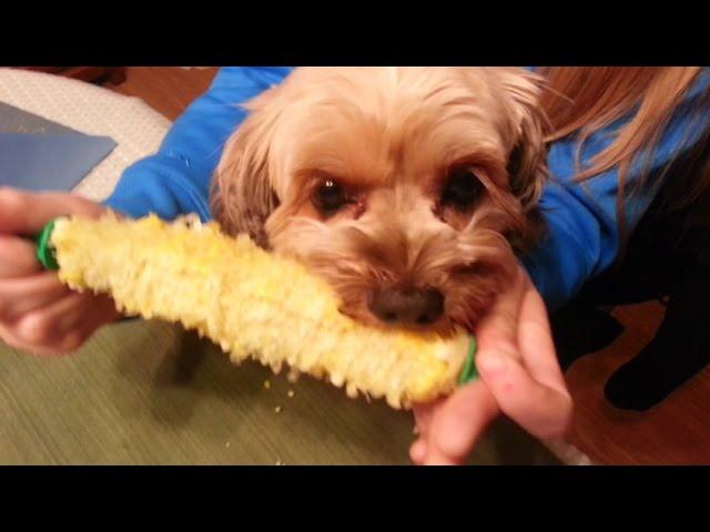 Dog Eating Corn on the Cob Hilarious! - YouTube