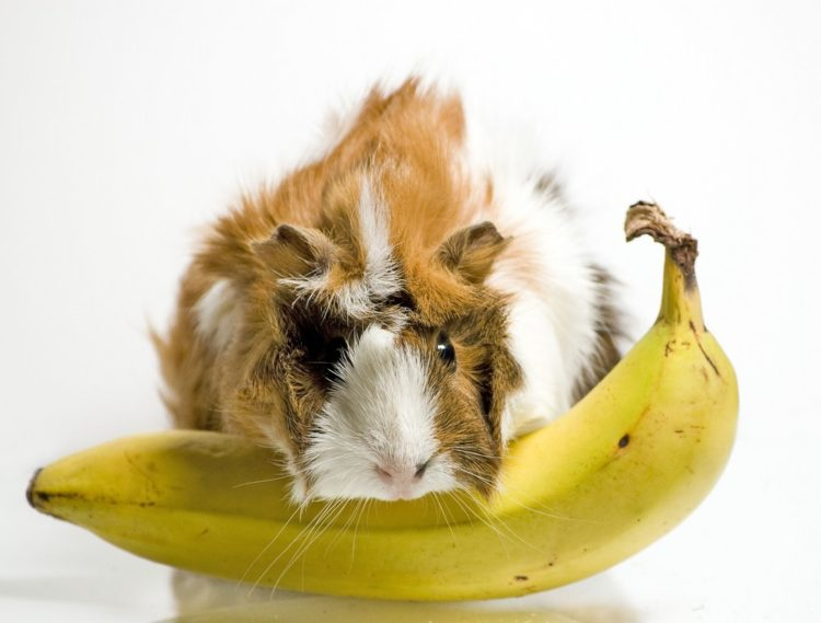 Can Guinea Pigs Eat Bananas? What You Need to Know!   Pet Keen