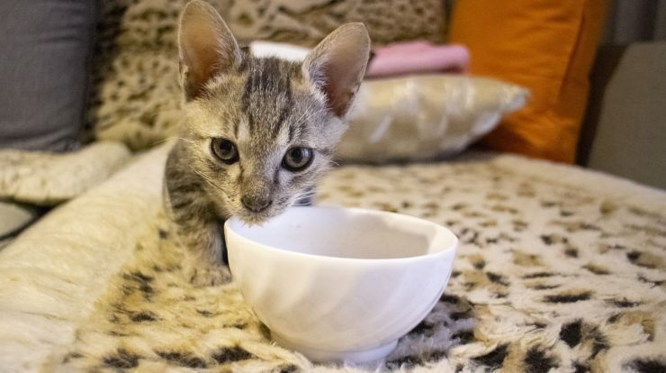 Can Cats Eat Ketchup? A Perfect Guide   Study Animal