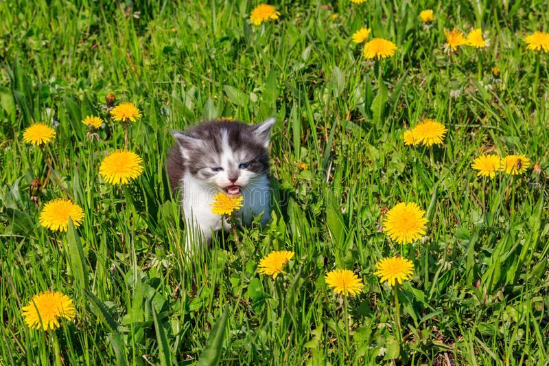 Small Kitten In Yellow Dandelion Flowers