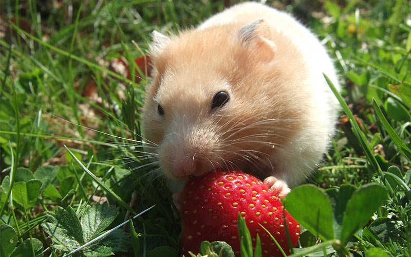 Can Hamsters Eat Strawberries - A Guide To Strawberries For Hamsters