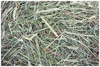 New Zealand Grown Timothy Hay for Small Animals