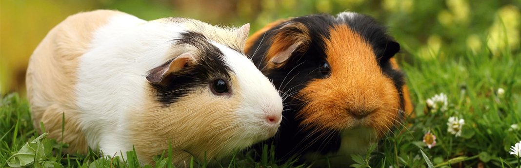 Hamster vs Guinea Pig: Which Pet Is The Right Choice For Me?