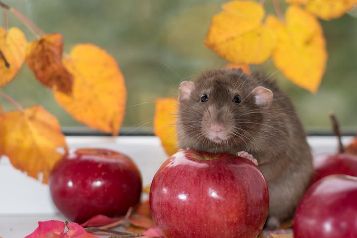 What do rats eat? - In the Wild & at Home - RAT FEEDING GUIDE