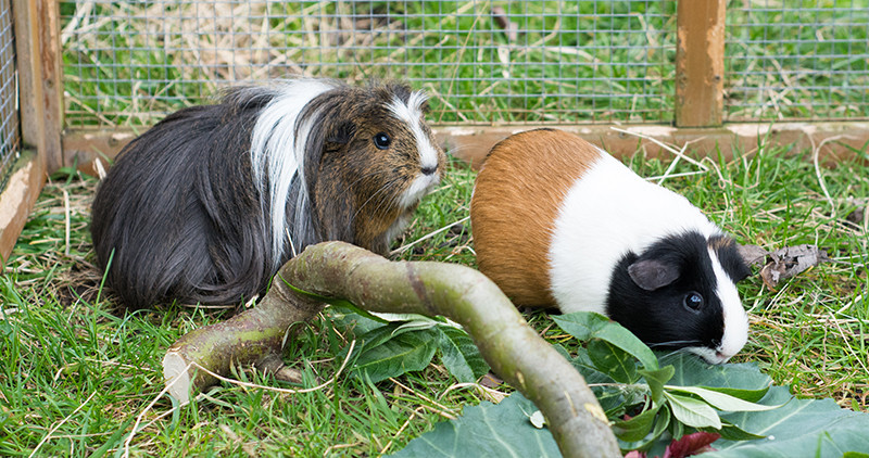 How to house your guinea pigs   Wood Green - The Animals Charity