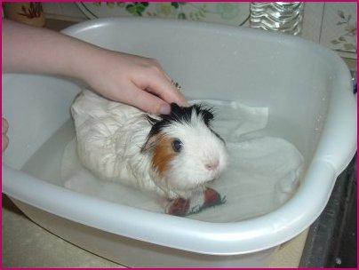 Bathing / Guinea Pig General Care Advice