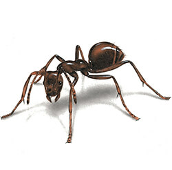 Ants   Facts & Identification, Control & Prevention