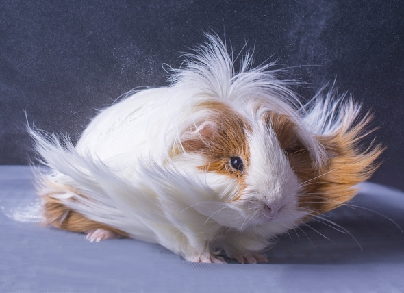 How to Groom a Guinea Pig at Home   PetMD