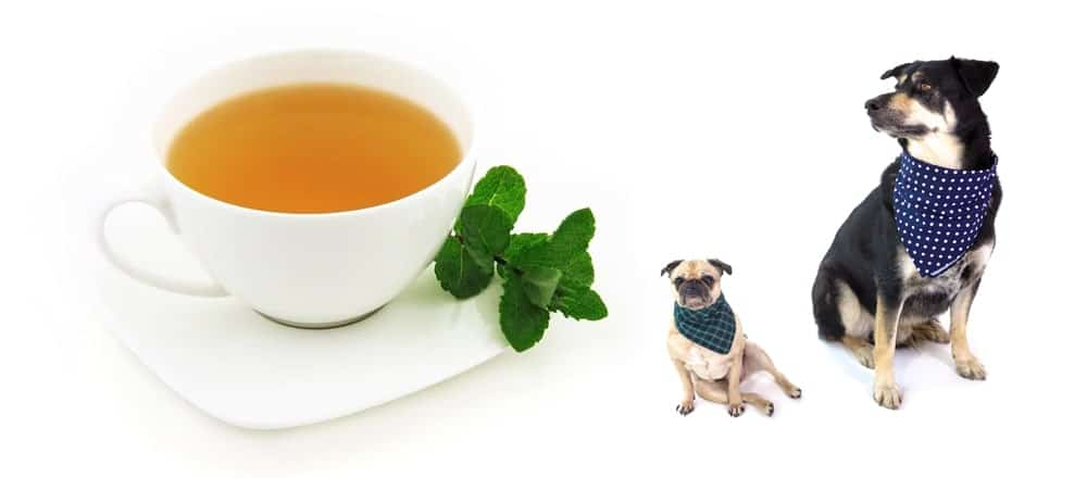 Can Dogs Drink Tea or NOT   Tea-and-Coffee.com