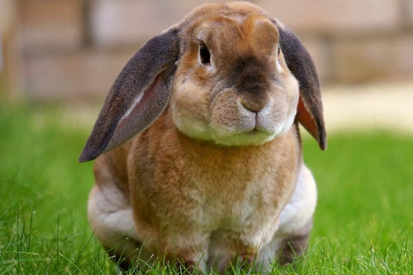 Can Rabbits Eat Guinea Pig Food: Why This Isn't the Best Idea – Small Pets 101