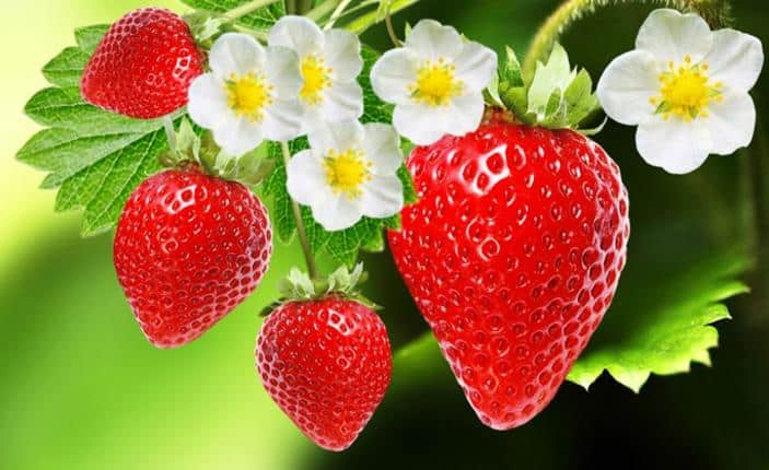 Can Rabbits Eat Strawberries or Are They Bad? | Pet Care Advisors