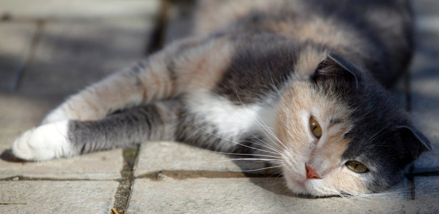 Cat Poisoned Symptoms   Has My Cat Been Poisoned?   Vets Now
